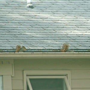 Squirrels and pests in open-style gutters