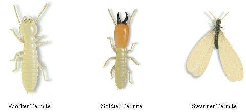 Termites in Iowa