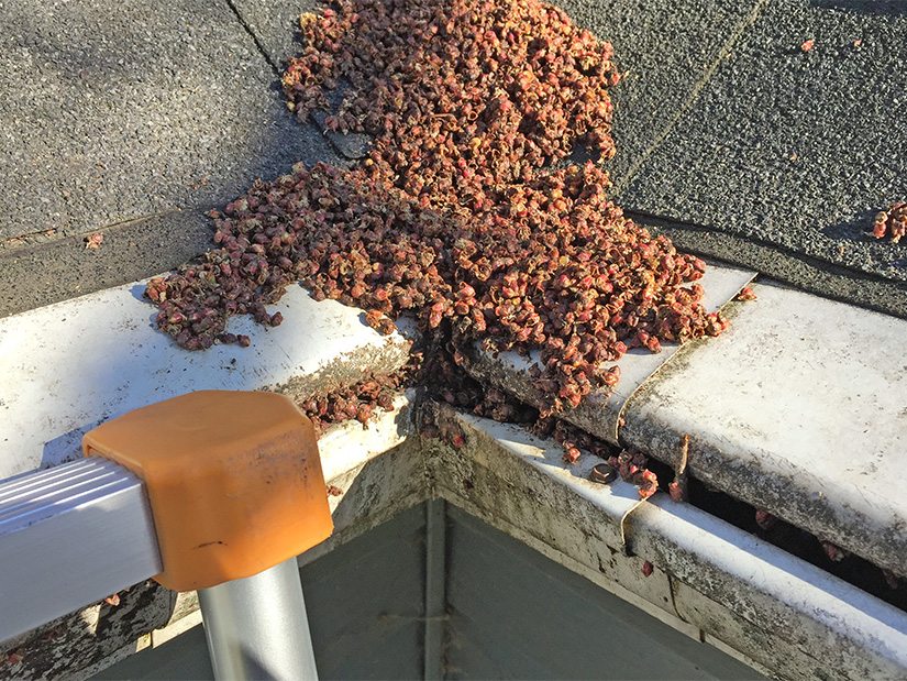 Clogged gutters by maple tree buds.